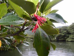 マングローブの赤い花(オヒルギの花?)