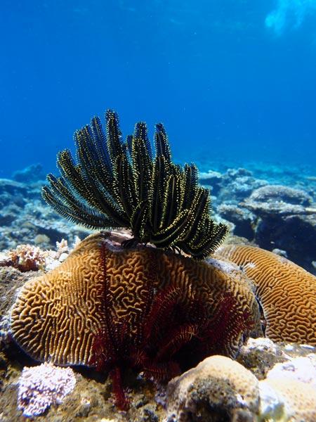西表島シュノーケリング 珊瑚礁