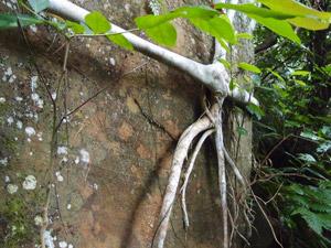西表島の締め殺し植物