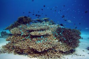 座間味島の海の中(3) 群れ泳ぐ熱帯魚と珊瑚礁 フリー写真