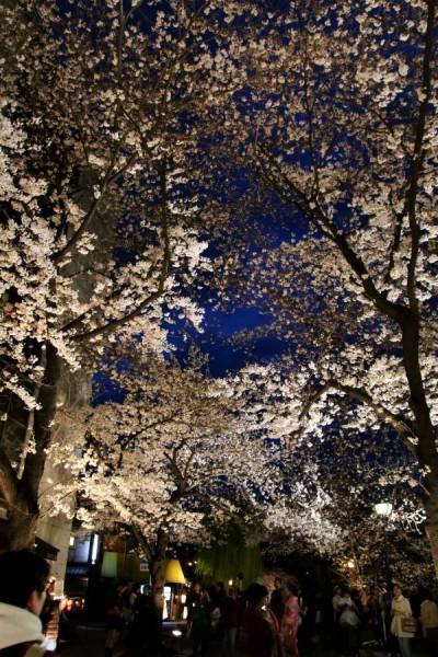 京都 祇園白川 宵桜ライトアップ