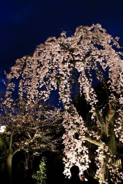 祇園白川宵桜ライトアップ 枝垂桜