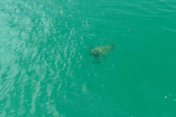 カネオヘ湾クルーズ 水面近くを泳ぐアオウミガメの子供