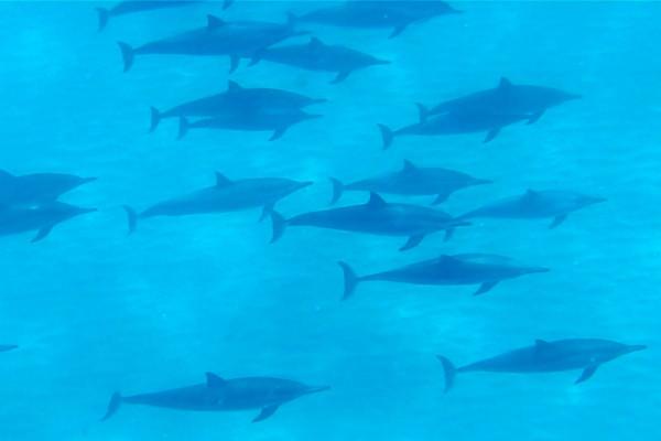 ハワイ(オアフ島)カエナ・ポイントで見たイルカの群れ