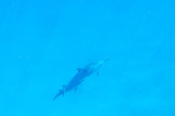 ハワイ(オアフ島)母子と思われる野生イルカが海面へ浮上