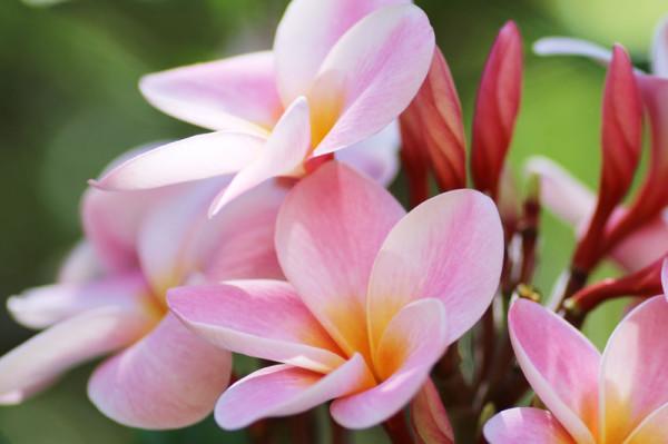 ココクレーター植物園の色鮮やかなプルメリア