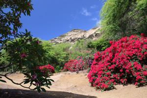 ココ・クレーター植物園のプルメリア