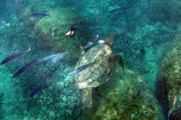 ハワイ(オアフ島) スノーケリングで見られるウミガメ