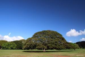 日立の木(ハワイ オアフ島)フリー写真