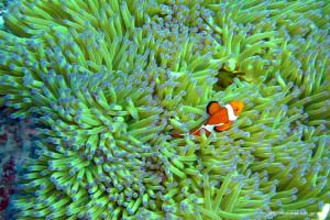 座間味島の海の中(1) カクレクマノミ フリー写真