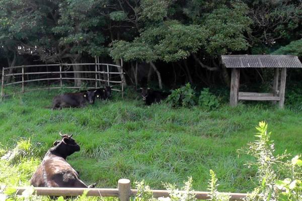 牧崎風の公園 少し手前で牛の姿を見る