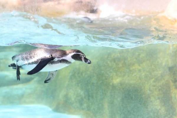 海響館(水族館)のペンギンは、ファミリーに大人気(唐戸市場からすぐ)