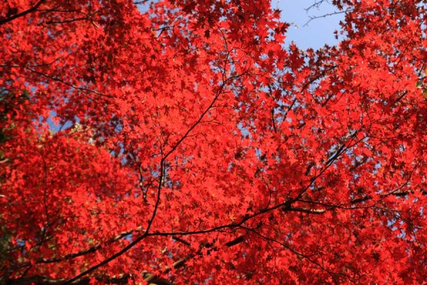 葉の全体が綺麗に真っ赤に染っています。光明寺の紅葉の見どころです