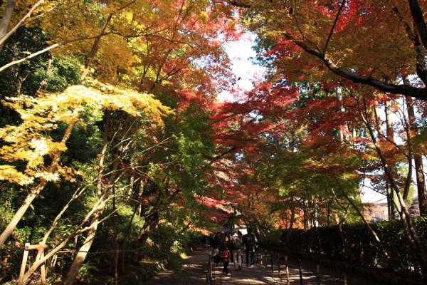 京都 光明寺の紅葉 参道は紅葉のトンネルですね!この時は、赤、黄、緑の三色が楽しめました。