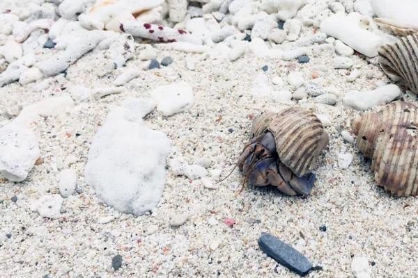 嘉比島(がひじま)でムラサキオカヤドカリを見つけました