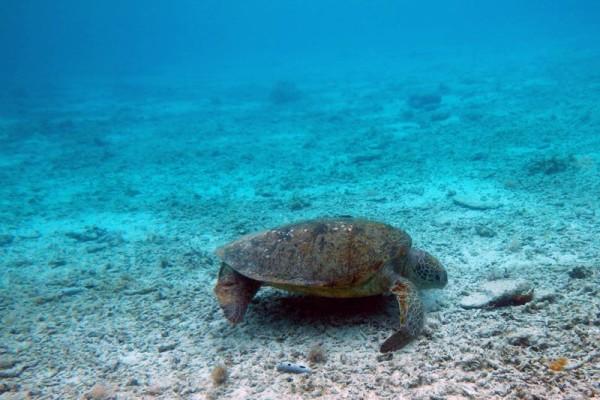 大きなウミガメを発見
