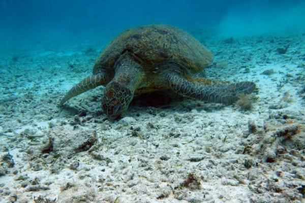 ウミガメは、海底のサンゴ等についている海藻を食べています