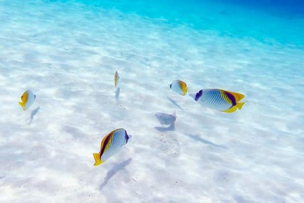 白い砂地の上を泳ぐ黄色と白のコントラストが可愛いチョウチョウウオ