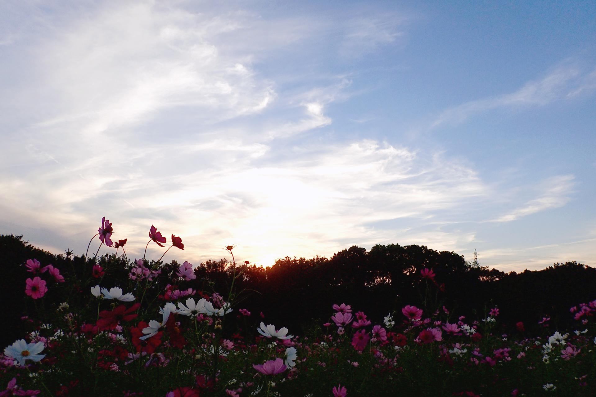 万博記念公園 コスモス