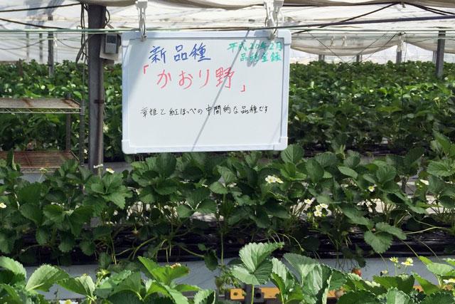 かおり野 イチゴの品種