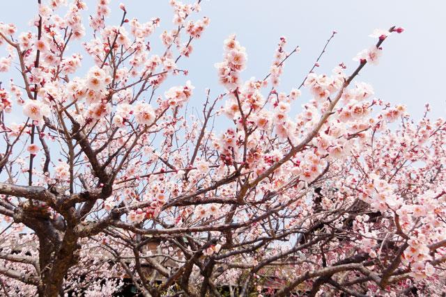 淡いピンク色の梅(2017年2月25日撮影)