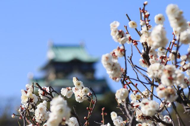 大阪城梅林の南高梅