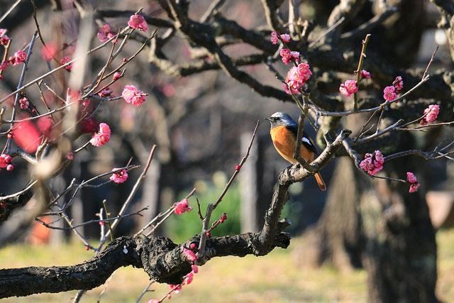 大阪城梅林のジョウビタキ(渡り鳥)
