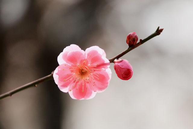 北野天満宮 鮮やかなピンク(赤色)の梅(2017年2月25日撮影)