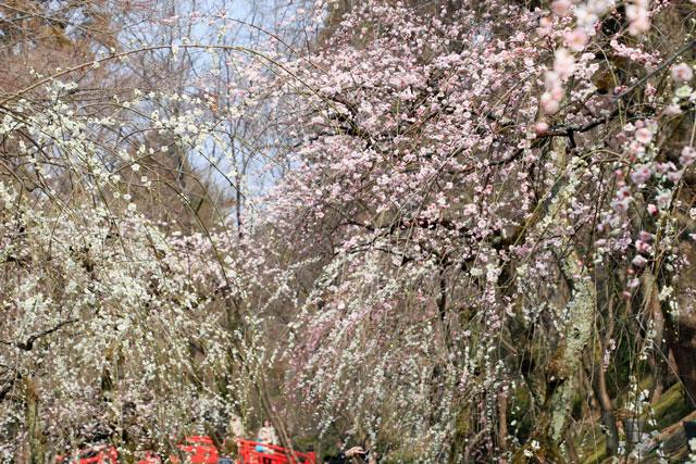 梅苑内の白梅、紅梅のしだれ梅