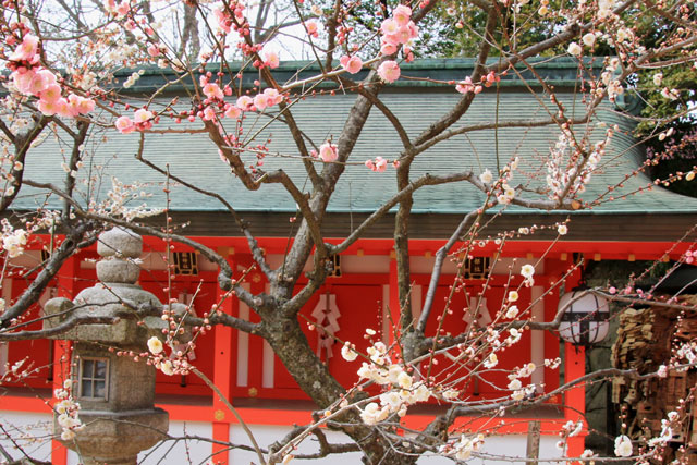 1本の梅の木に、白い花とピンク色の花が咲いている? 北野天満宮