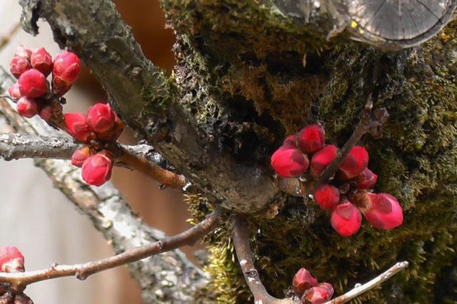 本殿前の御神木「紅和魂梅」はまだ蕾