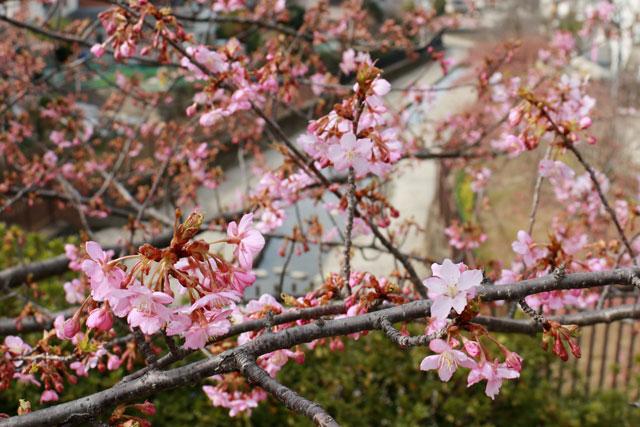 淀新町バス停付近からの河津桜並木