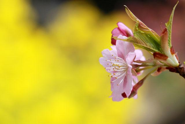 菜の花と河津桜とのコラボ