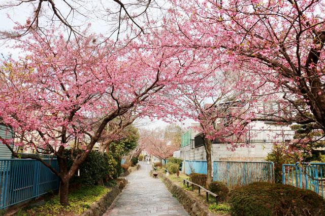 伊豆河津町 旅館「運龍」より植樹された河津桜の木