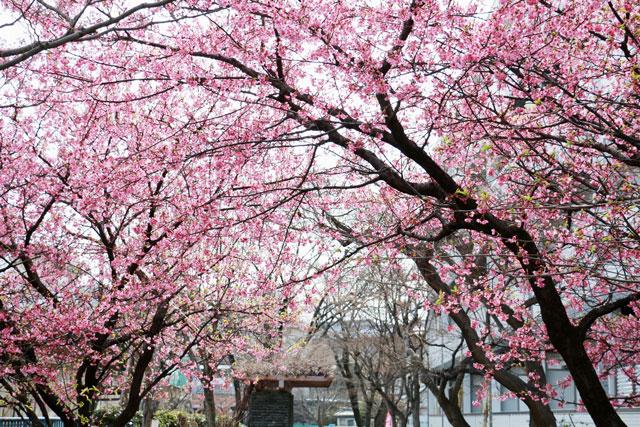旅館「運龍」より植樹さ満開の河津桜(2本)