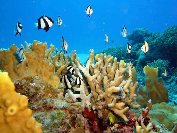 枝サンゴの周りでフタスジリュウキュウスズメダイの群れが泳いでいます。