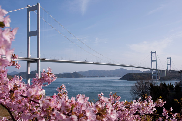 来島海峡大橋と河津桜